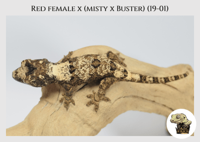 (l17) Red Female x (Misty x Buster) (19-01)