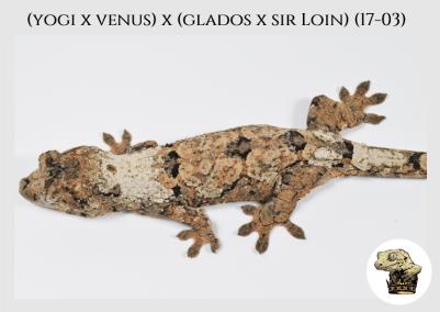 (l7) (Yogi x Venus) x (Glados x Sir Loin) (17-03)