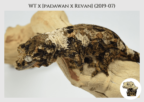 WT x (Padawan x Revan) (2019-07) (2020-02-29) (5)