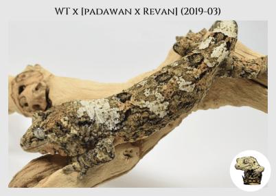 White Trash x (Padawan x Revan) (2019-03) WM (2020-02-29) (6)