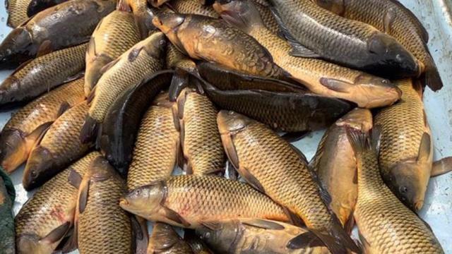 Boluda kaçak balık avlayan kişiye 5 bin 455 lira ceza verildi