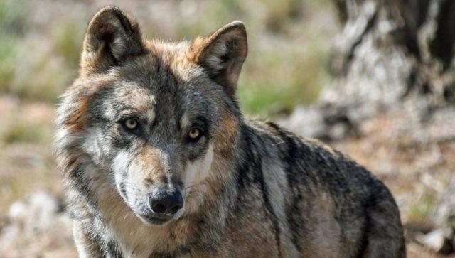 Επτά λύκοι διέφυγαν από ένα πάρκο άγριων ζώων στη Νίκαια της Γαλλίας