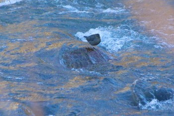 American Dipper at Idlewild Park in Reno January 3, 2015