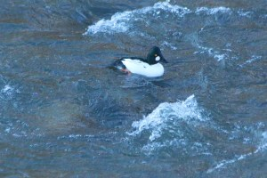 Common Goldeneye duck on the Truckee River near Idlewild Park, Reno