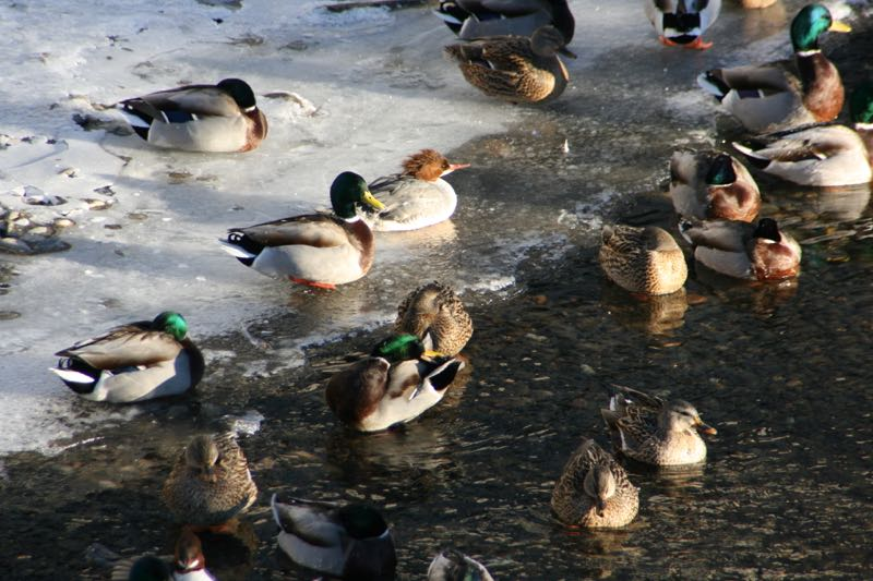 Mallards and a merganser, Truckee River, Reno.