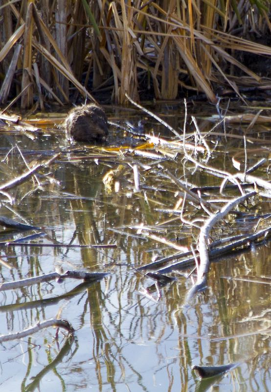 Mystery mammals in Oxbow pond, Nov. 2014. Photo by Patricia Bouweraerts.