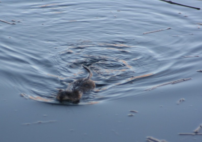 Muskrat at Oxbow Nature Study Area, Feb. 26, 2015.