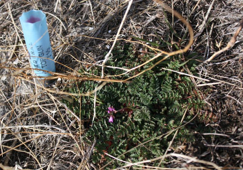 Feb 1, 2015: Nevada wildflowers on Peavine Peak.