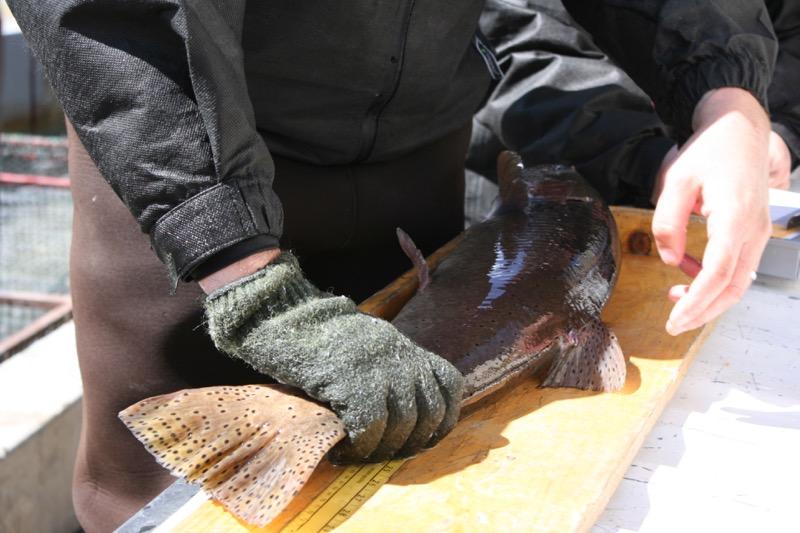 Measuring a Lahontan cutthroat trout, Sutcliffe, NV. April 13, 2015.