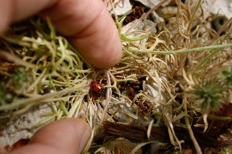 Hippodamia convergens, a native species of Ladybug. Northwest Reno, April 12, 2015.