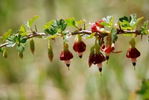 Flowers of Sierra gooseberry (Ribes roezlii).