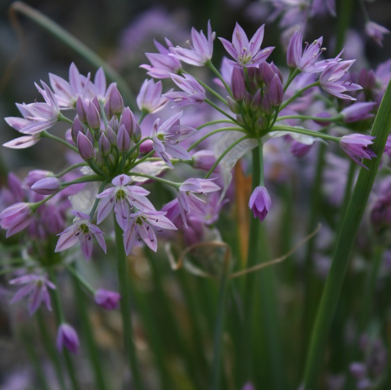 Twincrest onion (Allium bisceptrum), Ambrose Park, Reno. May 5, 2015.
