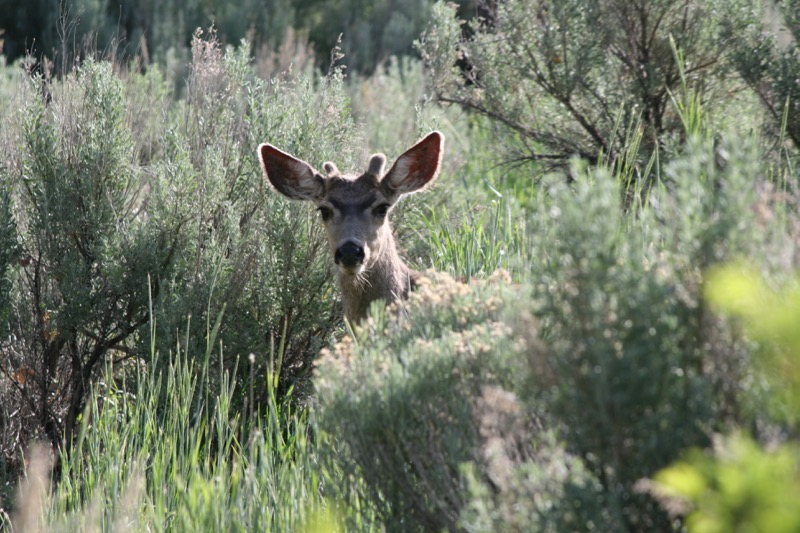 Hello! Mule deer, Ambrose Park. May 5, 2015.