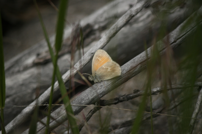A Common ringlet (Coenonympha tullia). May 18, 2015.