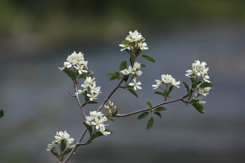 Serviceberry (Amelanchier sp.) growing near the Truckee River in Farad, CA. May 2015. Photo: K.McCutcheon.