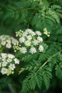 Poison hemlock leaves and flowers, June 2011. Photo: K.McCutcheon.
