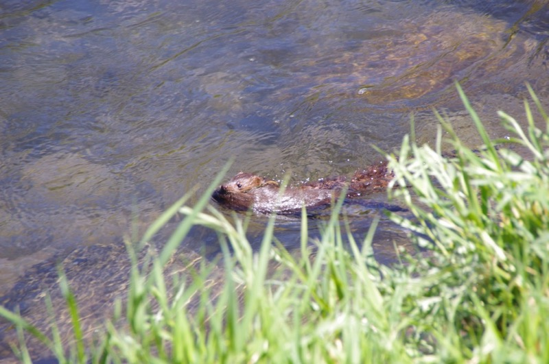 American mink, carrying young. Truckee River. Photo: Ron Marko.