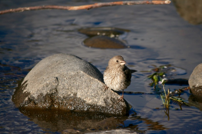 Finch by the Truckee River, June 4, 2015.