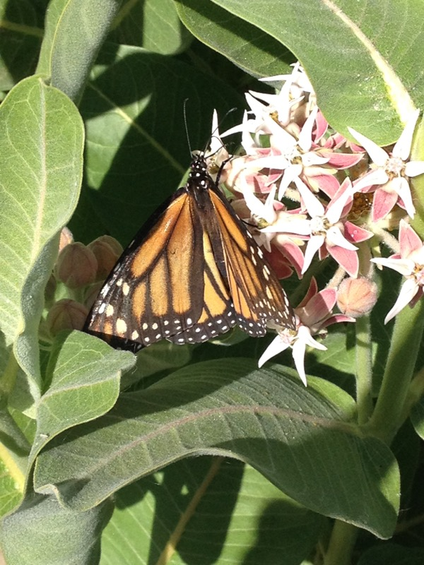 Monarch butterfly on a Showy milkweed, Mayberry Park. June 8, 2014.