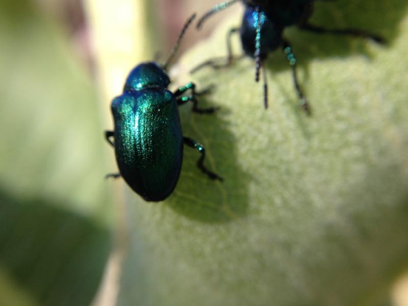 Blue milkweed beetle on a Showy milkweed, Mayberry Park. June 30, 2015.