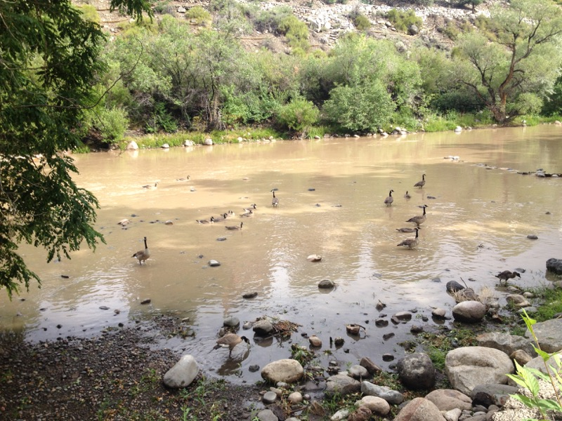 Canada geese in the Truckee River, Reno. July 8, 2015.