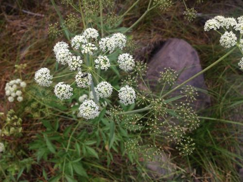 Brewer's angelica (Angelica brewerii) growing along the Truckee River, east of Truckee, CA. July 12, 2015. Photo: K.McCutcheon.