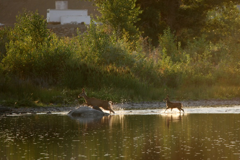 A mother mule deer and fawn cross the Truckee River channel at Mustang Ranch Preserve, 6 Aug 2015.