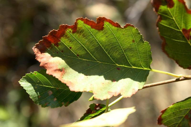 Leaf scorch on a Thinleaf alder (Alnus incana ssp. tenuifolia), Truckee River. Aug 25, 2015.