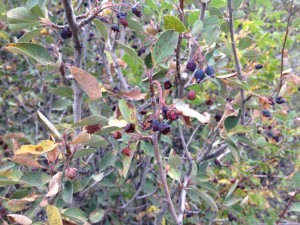 Utah serviceberry in Dorostkar Park: shriveled. 1 Aug 2015.