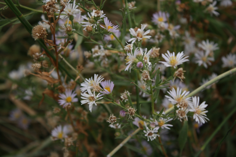 Blooming asters, Dorostkar Park. Sept 12, 2015