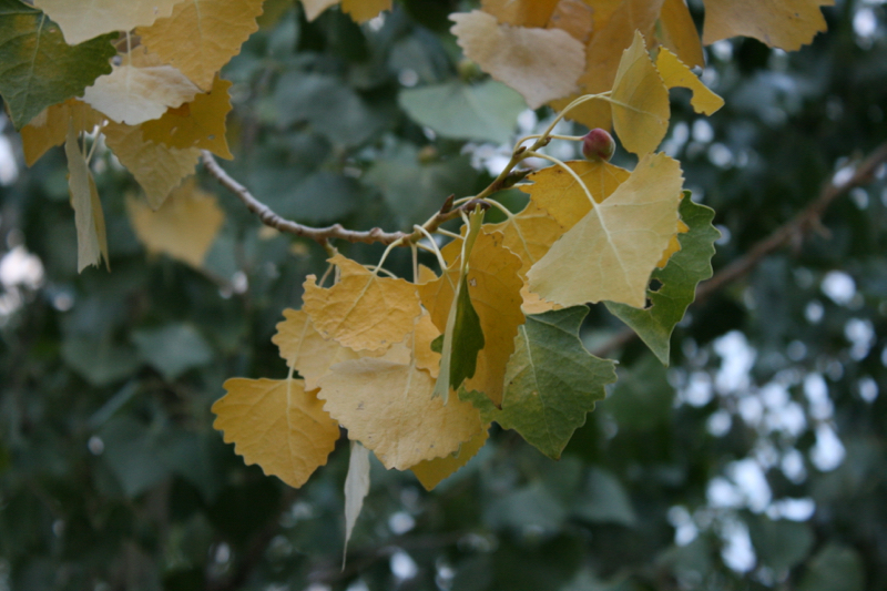 The first yellow leaves on a Fremont cottonwood, Dorostkar Park. Sept 12, 2015.