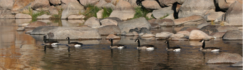 Six Canada Geese, swimming upstream. Ambrose Park, Oct 21, 2015.