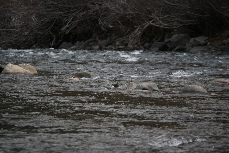 Can you see the dipper? American dipper near Puny Dip, Nov 22, 2015.