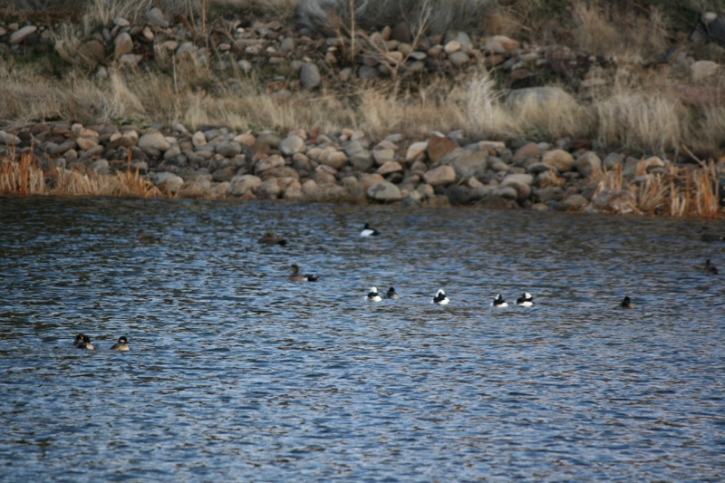 Ducks on the water: Buffleheads and American Wigeons, Crystal Peak Park. Dec 22, 2015.
