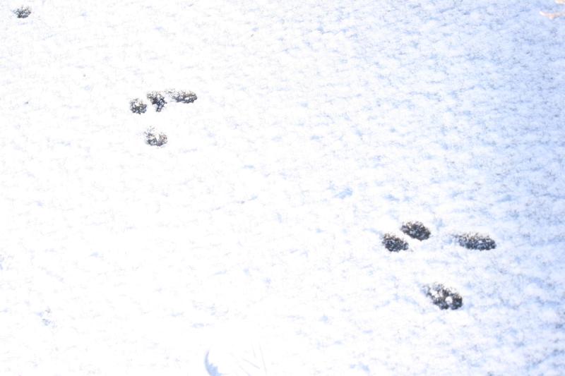 Rabbit tracks, Oxbow Park. January 2016.