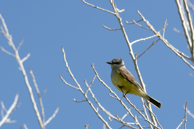 Western kingbird, Lockwood Park. May 30, 2016.