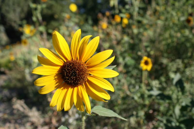 Common sunflower growing near Mayberry Park, July 2016.