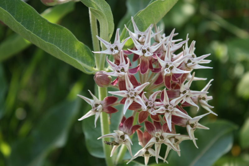Showy milkweed, Mayberry Park. July, 2016.