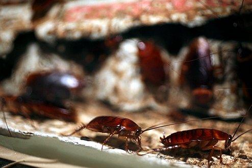 Cucarachas en verano