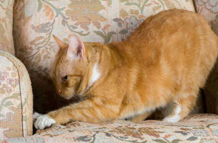 Gatos y costumbre de subirse a sillón