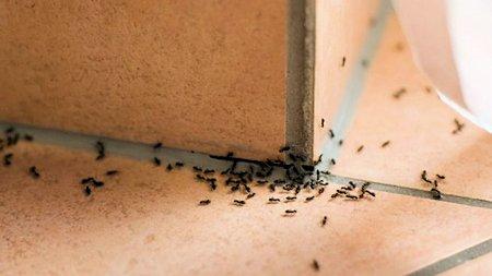 Eliminar hormigas del hogar