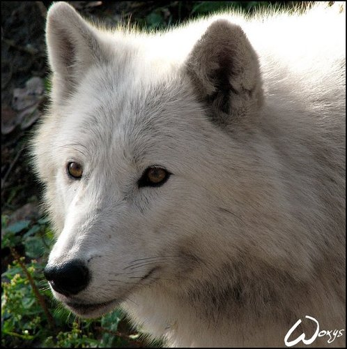 Images Wolf Time Night