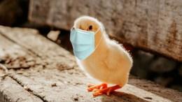 Chicken Licken finds safety