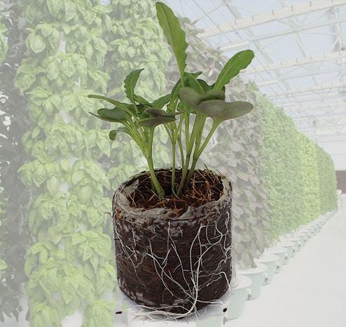Tower Garden Seedlings Grown in Coco Coir