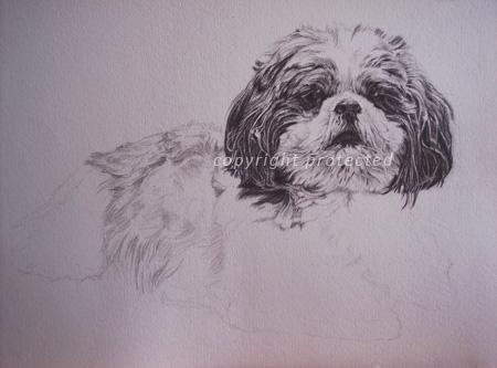 Shih tzu portrait in pencil