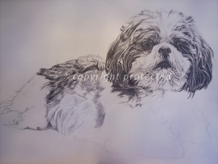 Shih tzu pencil portrait in progress