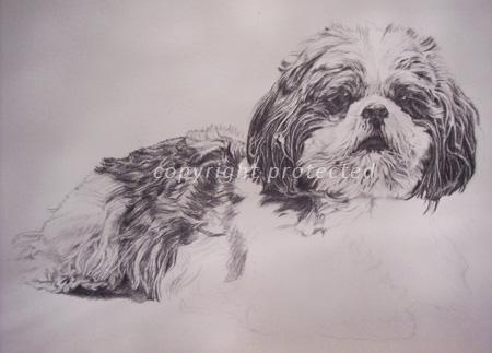 Shih tzu pencil portrait on paper
