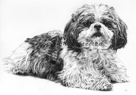 Shih Tzu dog portrait in pencil