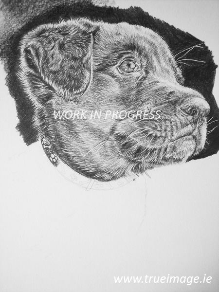 Labrador puppy pencil pet portrait work in progress