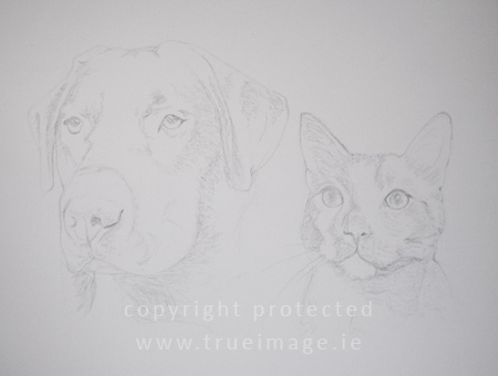 Graphite pencil portrait of black labrador and a cat - Hamish and Oscar - step 1